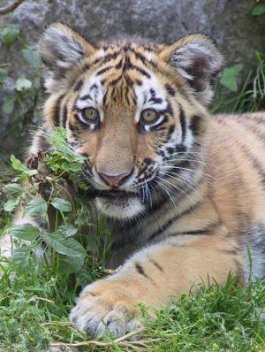 Foto: Walter Zoo – Tigerbaby